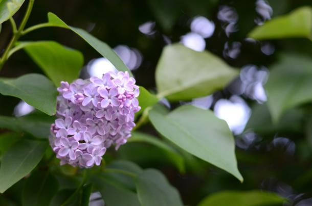 lilac may 2014