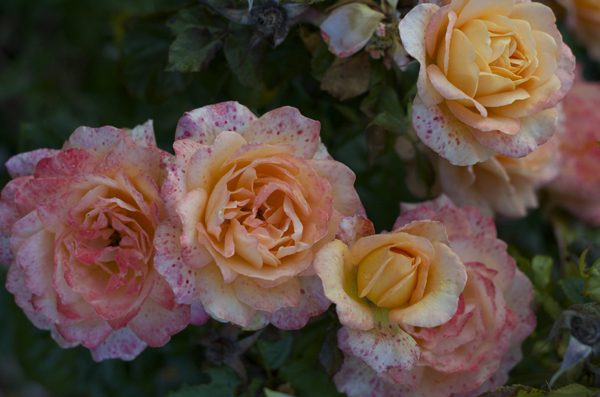 flowers_dublin_ireland_garden