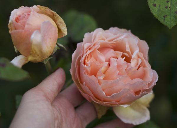 peach_roses_dublin_garden