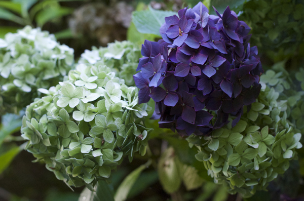 county_donegal_hydrangeas