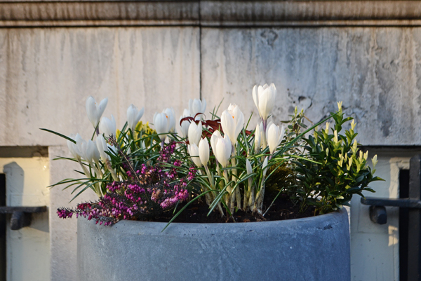amsterdam_crocuses_flower_boxes