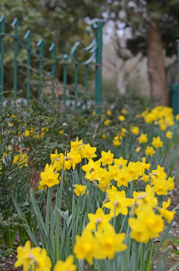 daffodils_malahide_castle