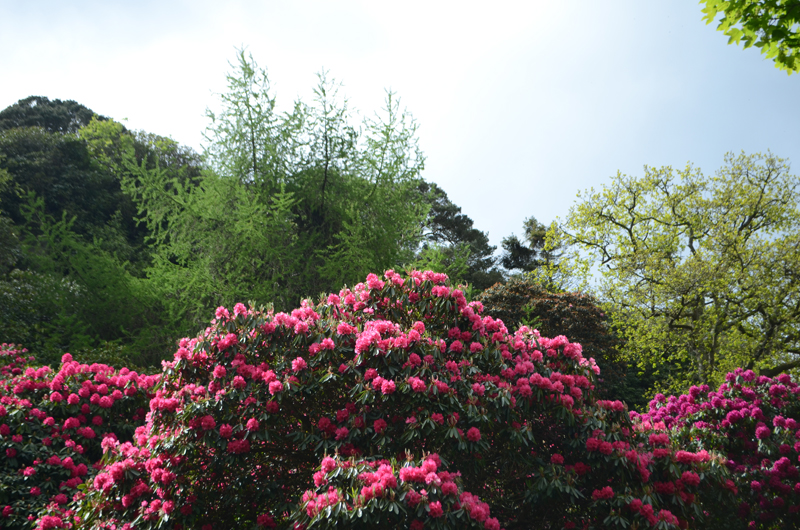 howth-deer-park-rhododendrons-ireland