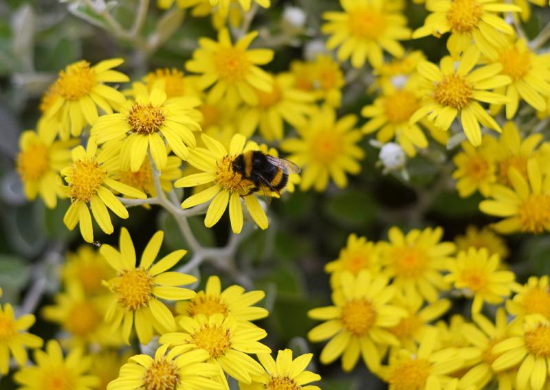 bumblebee-ireland
