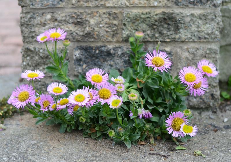 daisies-dublin-2