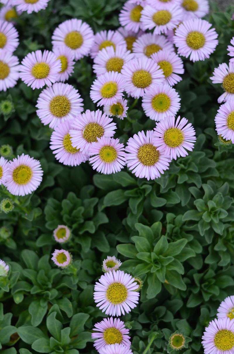 daisies-dublin