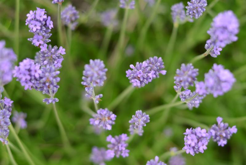 lavender-ireland