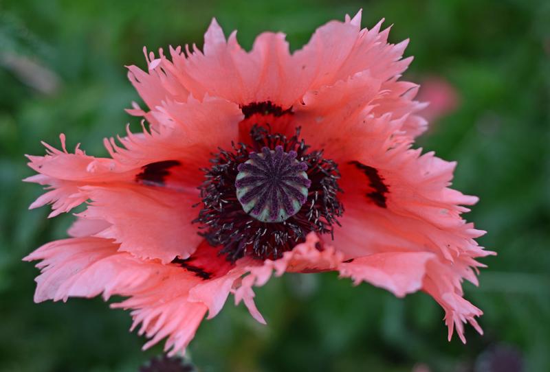 poppies-dublin-2