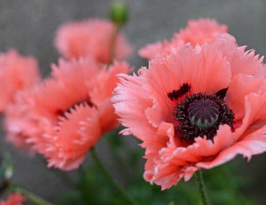 poppies-dublin-summer