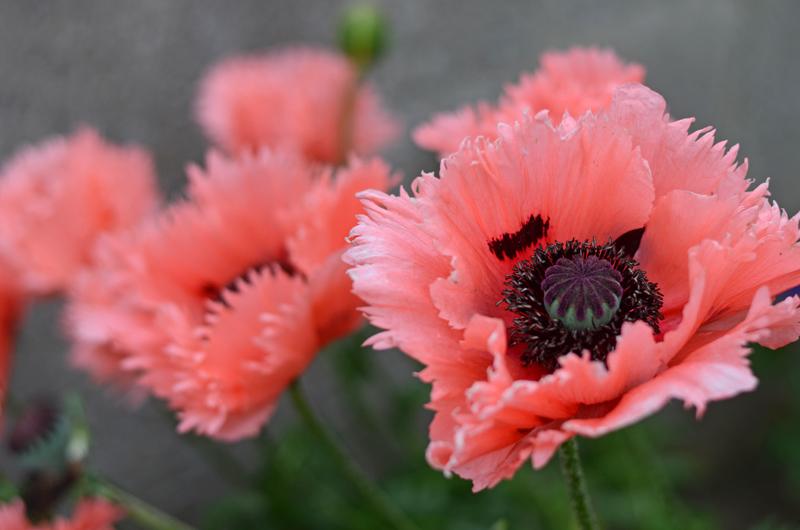 poppies-dublin-summer