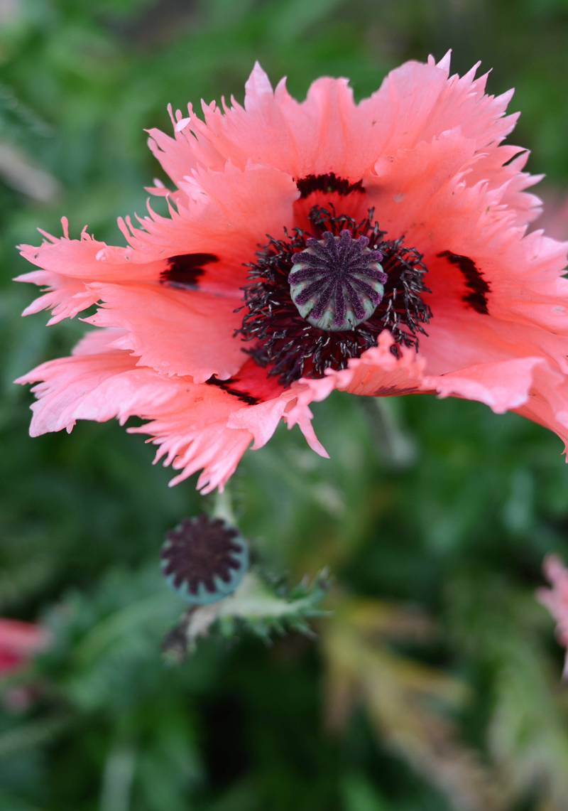 poppies-dublin