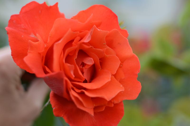 red-rose-dublin