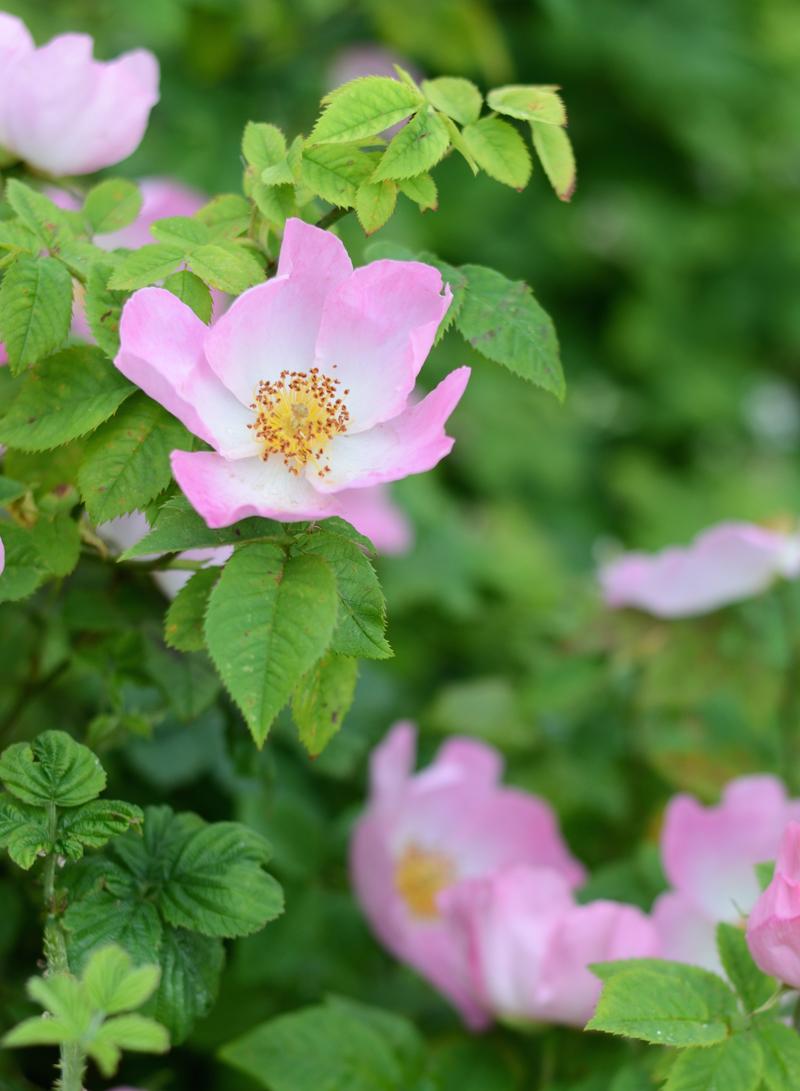 roses-dublin-pink