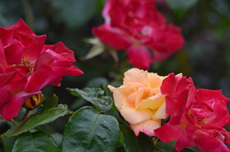 roses-dublin