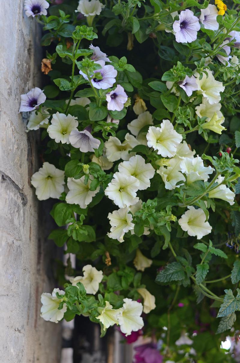 flowers-hanging-dublin