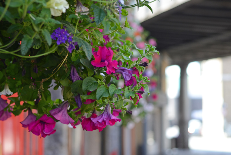 hanging-basket-flowers-dublin