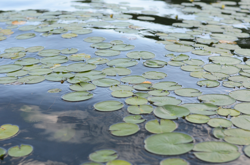 lily-pads-china-lake-2