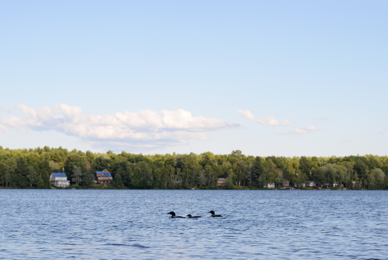 loons-china-lake-maine