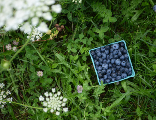 Blueberry picking in Maine