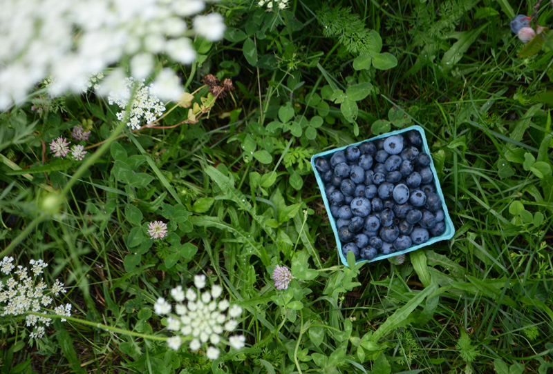 Picking blueberries in Maine