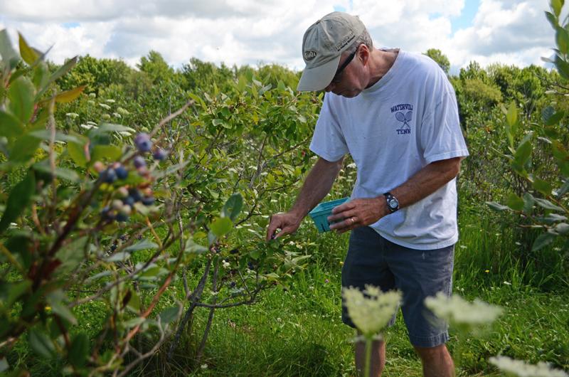 dad-blueberry-picking