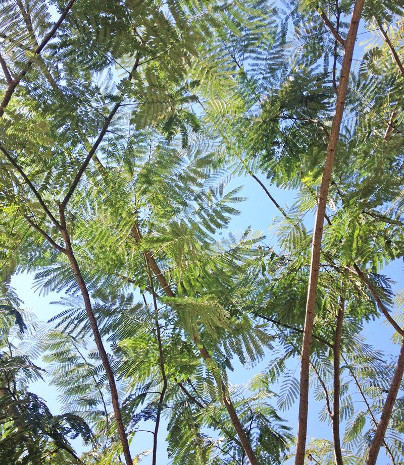 fern-trees-houston