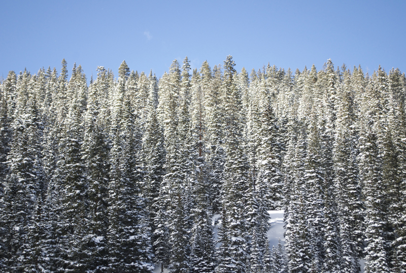 pine-trees-colorado