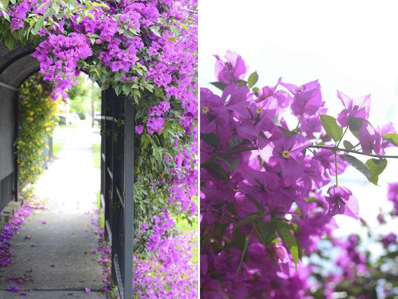 bougainvillea-houston-spring