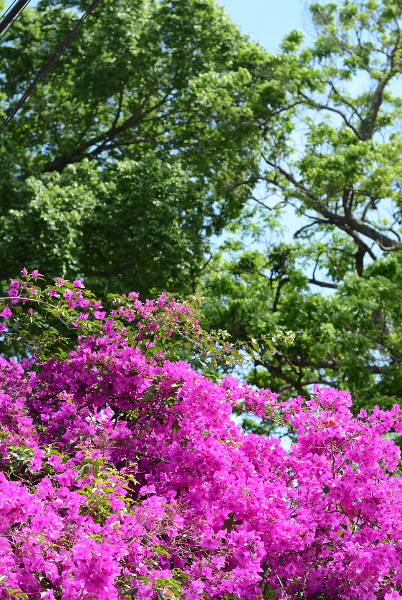 bougainvillea-houston