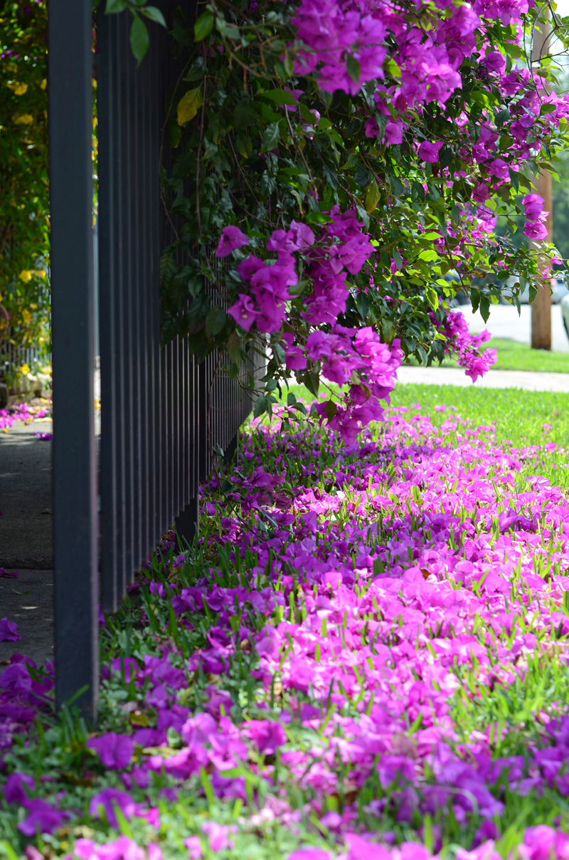 bougainvillea-texas