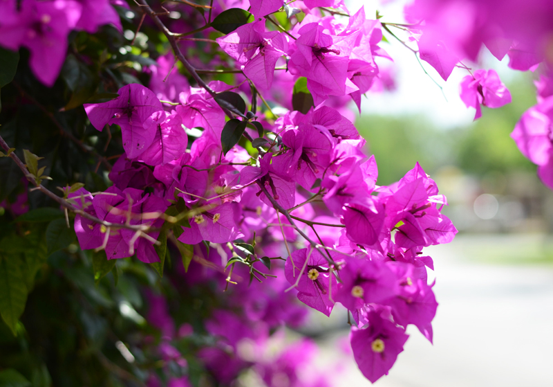 houston-bougainvillea