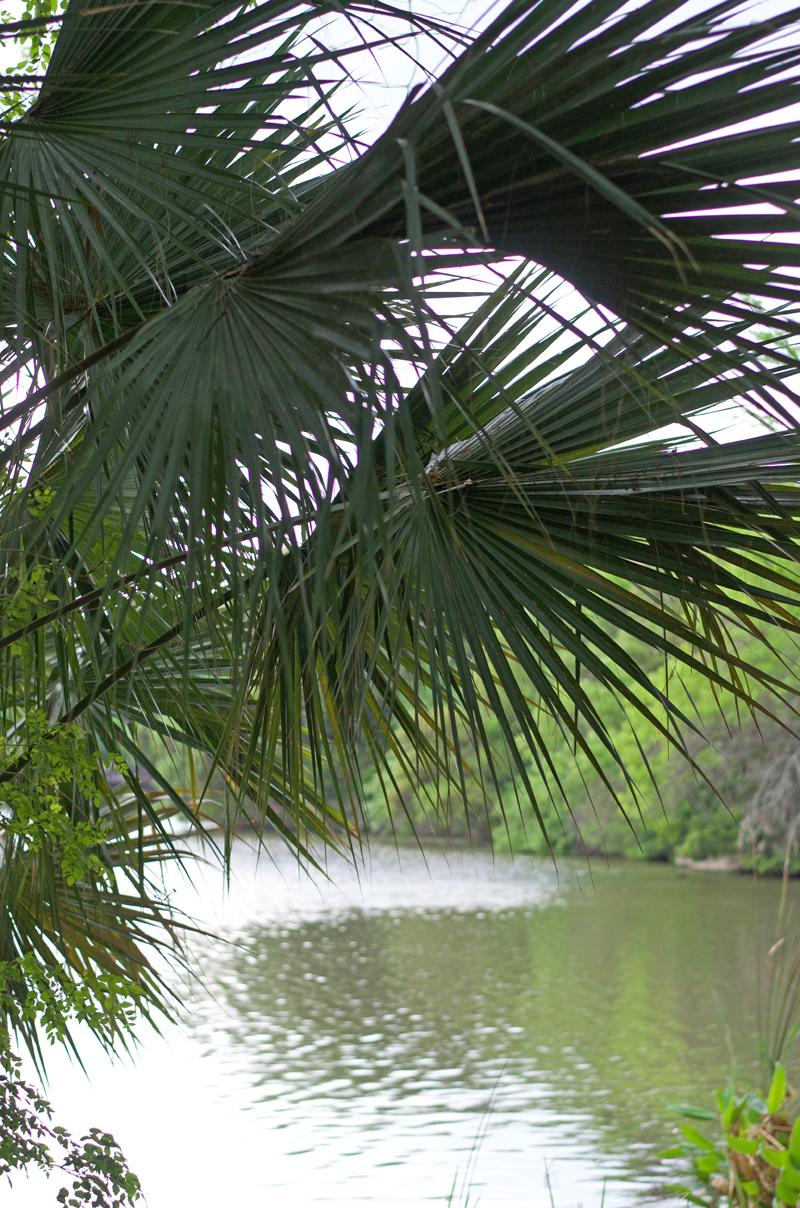laguna-gloria-palms