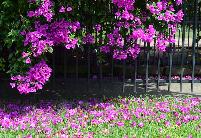 springtime-bougainvillea-houston