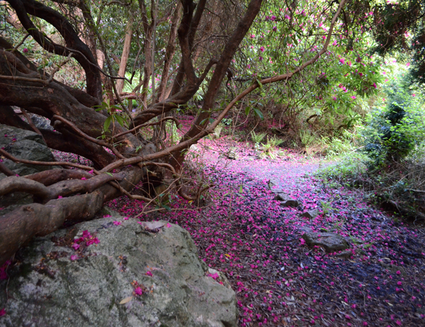 rhododendrons 3