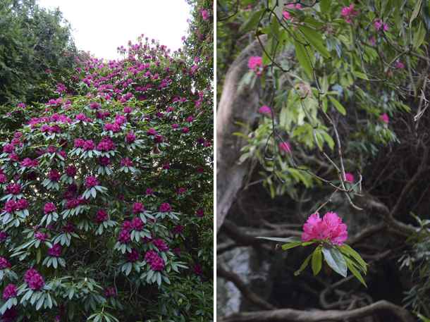 rhododendrons 4