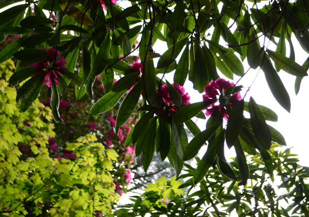 rhododendrons 5