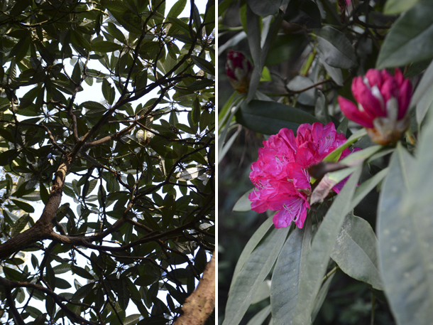 rhododendrons 6