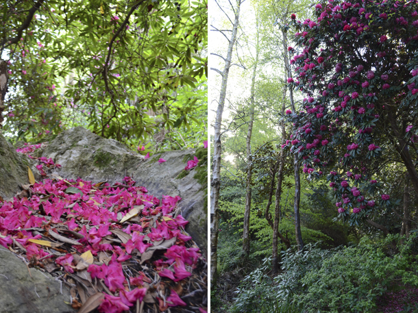 rhododendrons 7