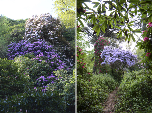 rhododendrons 8